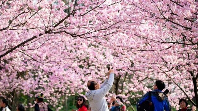 Ngỡ ngàng với vẻ đẹp của hoa anh đào ở Trung Quốc