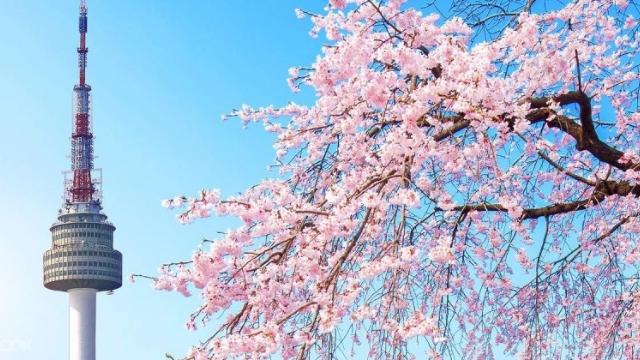 Ngắm hoa anh đào Hàn Quốc: khi nào và ở đâu?