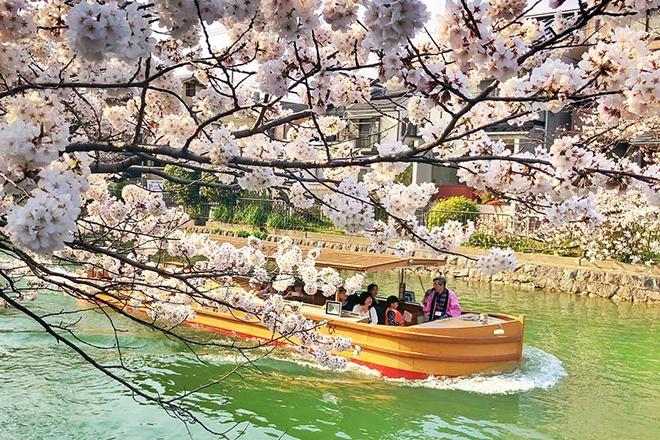 Kyoto đẹp quanh năm nhưng đặc biệt hút khách vào mùa hoa anh đào. Ảnh: dpjrugby